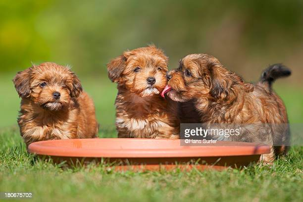 3 young havanese puppies