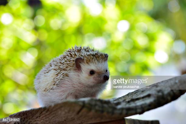 young hedgehog in natural habitat ,hedgehog  bokeh  background - porcupine stock photos and pictures