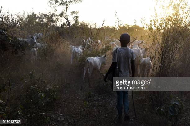 A young herdsboy leads animals to feed in the bush in Lafia capital of Nasarawa State northcentral Nigeria on January 4 2018 Nomadic cattle herders...