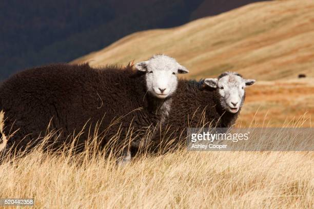 young herdwick sheep on the lake district fells - ashley lamb photos et images de collection