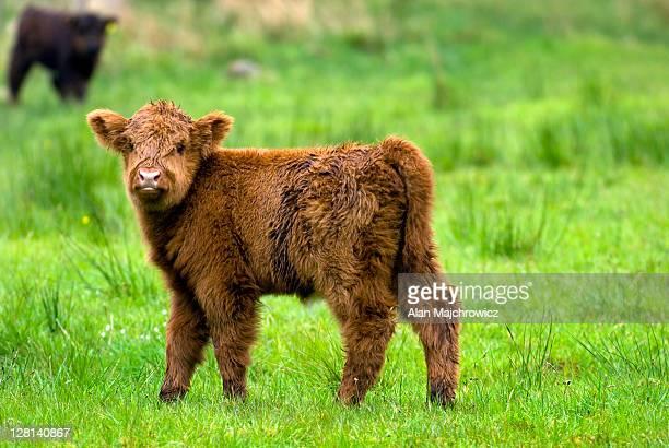 Young Highland Cattle calf, Glen Nevis, Scotland
