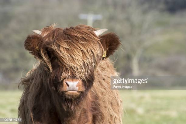 Young highland cattle wintering out on pasture, North Yorkshire, UK.