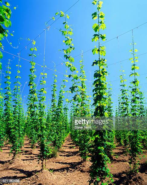 Young Hops Spouts