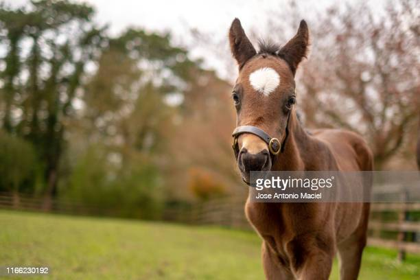 young horse on the field - racehorse stock pictures, royalty-free photos & images