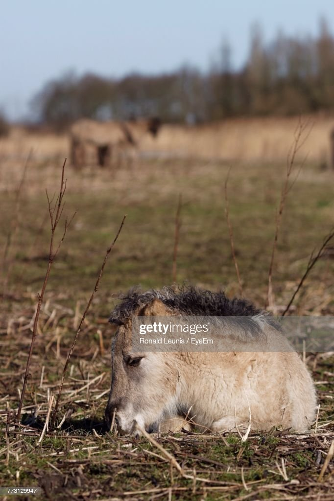 Young Horse Resting On Field : Bildbanksbilder