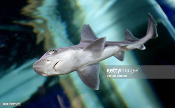 A young houndshark swimming in a large aquarium at the AquaDom and Sea Life Berlin Germany 22 March 2016 The roughly 2monthold and 30cm long animals...
