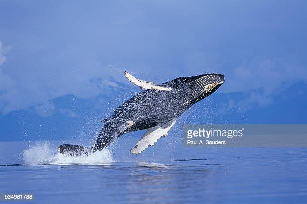 young humpback whale breaching in frederick sound - ザトウクジラ ストックフォトと画像