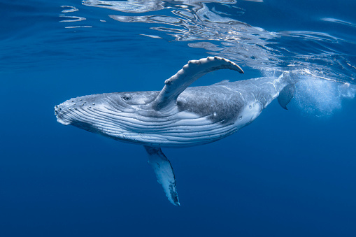 Young Humpback Whale In Blue Water 1164479946