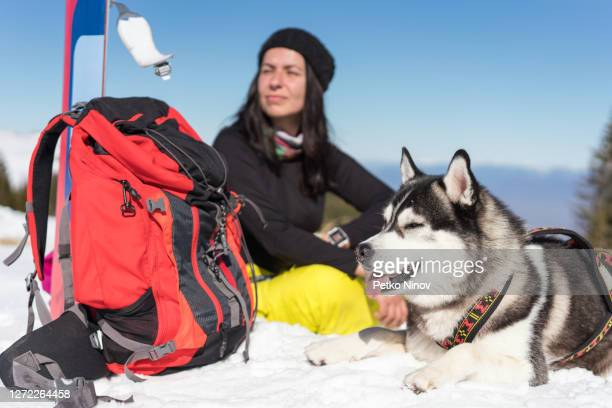 young husky dog lying on the snow - silver shoe stock pictures, royalty-free photos & images