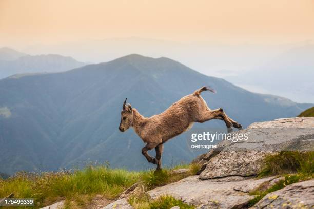 Jeune Bouquetin Alpine sur la montagne pâturages