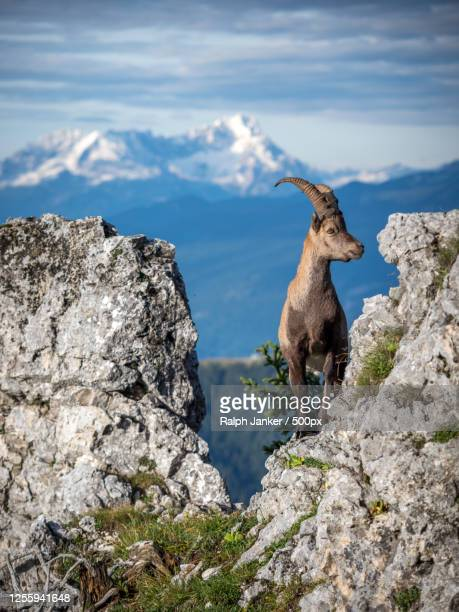 young ibex standing on a rock, bavaria, germany - images stock-fotos und bilder
