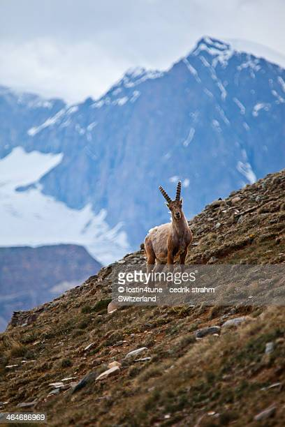 Young Ibex - Swiss Alps