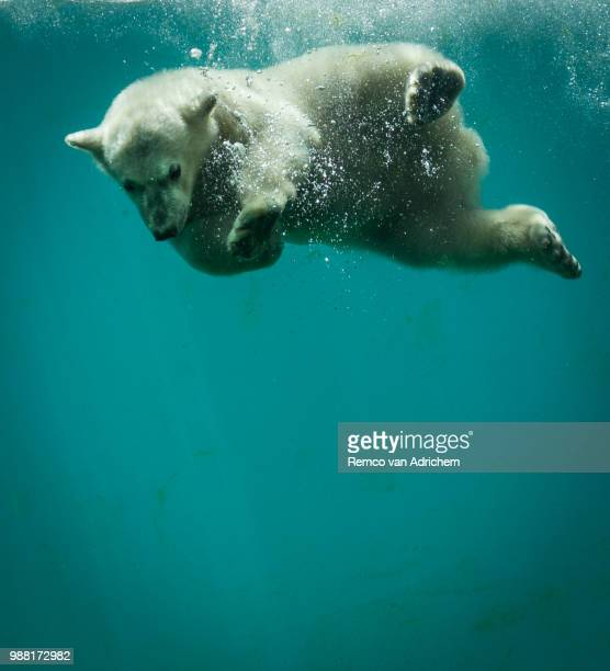 young icebear dives, in the cold blue. - blue bear stock photos and pictures