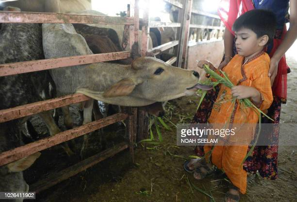A young Indian Hindu devotee feeds a cow to celebrate Krishna Janmashtami in Hyderabad on September 3 2018 Hindus consider cows to be holy animals...