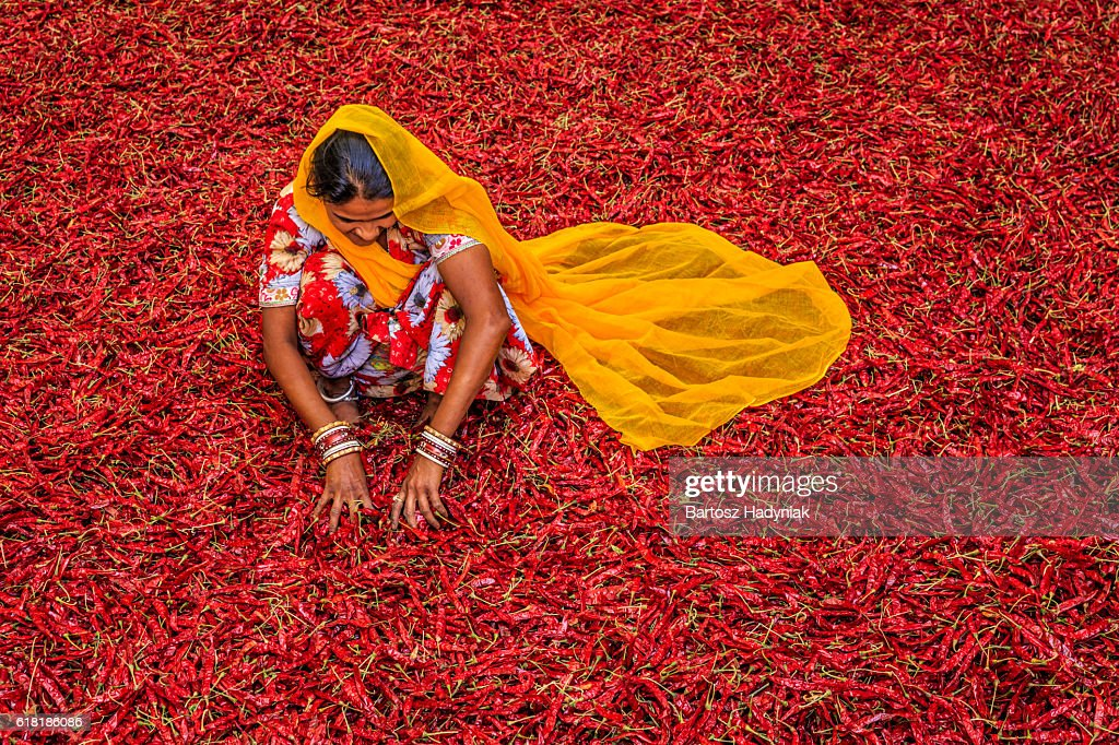 Young Indian woman sorting red chilli peppers, Jodhpur, India : Stock Photo