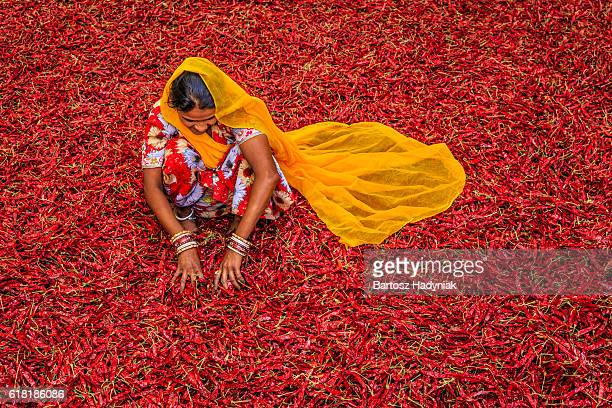 young indian woman sorting red chilli peppers, jodhpur, india - culturen stockfoto's en -beelden