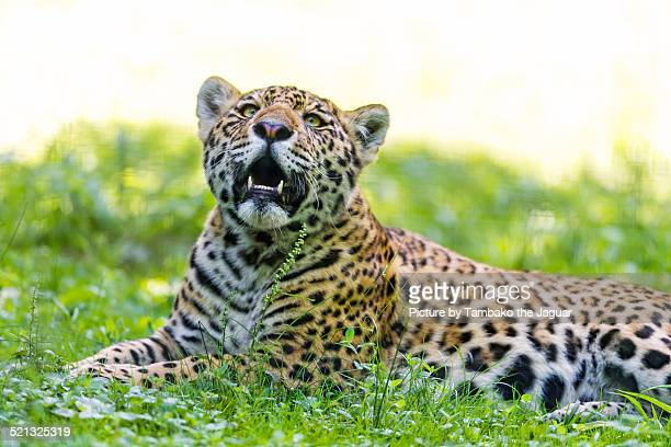 Young jaguar in the grass