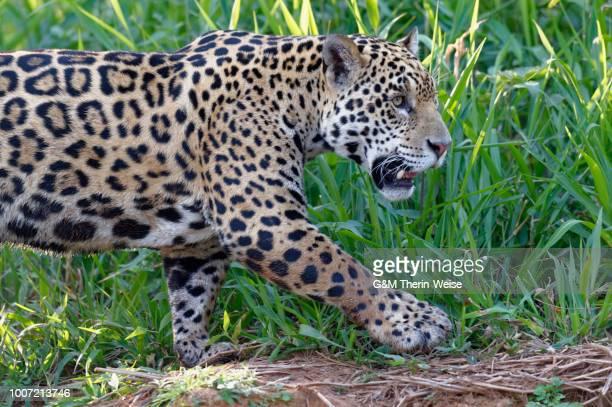Young Jaguar (Panthera onca) on a riverbank, Cuiaba river, Pantanal, Mato Grosso, Brazil, South America