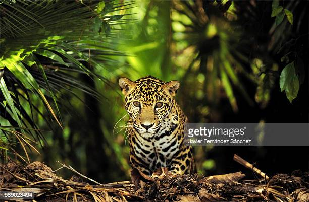 a young jaguar (panthera onca) photographed between the lush jungle of central america, belize. looking at camera. - jaguar stock photos and pictures