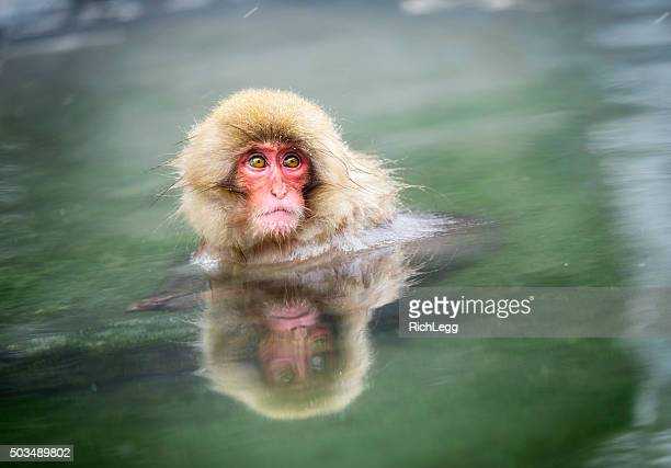 Young Japanese Snow Monkey in the Wild