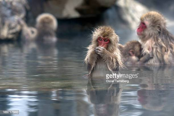 Young Japanese snow monkey