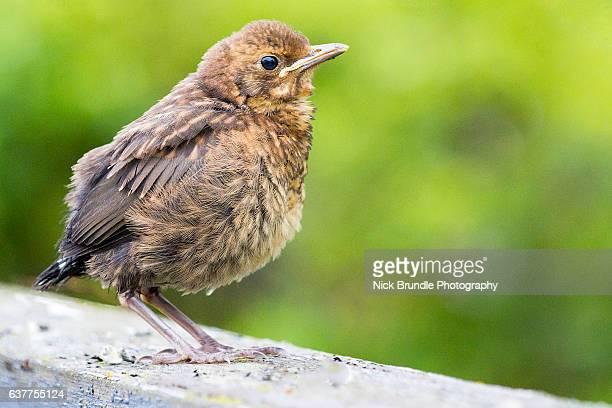 Young Juvenile Blackbird