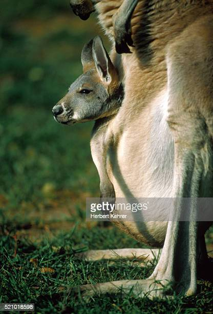 Young Kangaroo beeing in the pouch