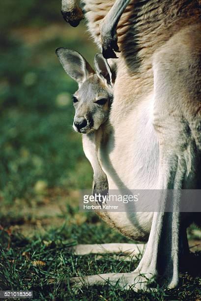 Young kangaroo in the bag