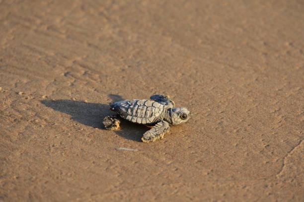 Young Kemps ridley sea turtle (Lepidochelys kempii) on sandy beach, South Padre Island, South Texas, USA
