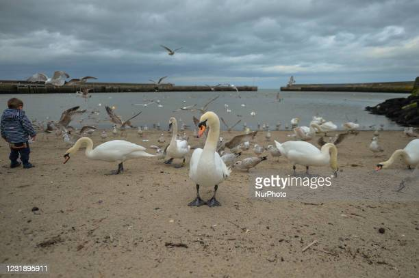 Young kid watches swans, seagulls and pigeons in Bray Harbour during Level Five COVID-19 lockdown. On Tuesday, March 23 in Bray, County Wicklow,...