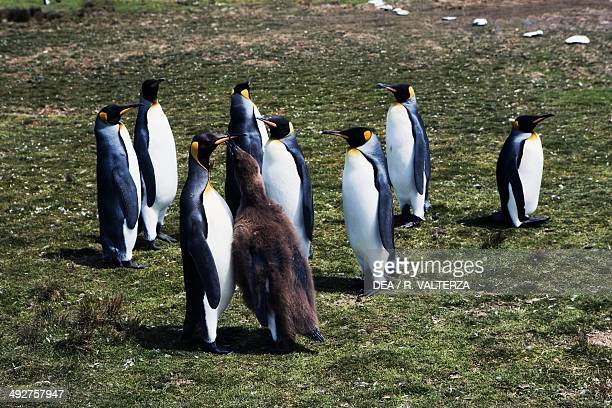 Young King penguin begging for food from one of its parents Spheniscidae Volunteer Point East Falkland Falkland or Malvinas Islands