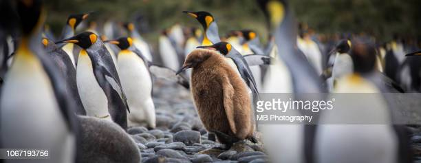 young king penguin - king penguin stock pictures, royalty-free photos & images