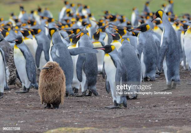 a young king penguin, volunteer point. falklands islands. - volunteer point stock pictures, royalty-free photos & images