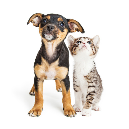 Young Kitten and Puppy Together Looking Up 930281792