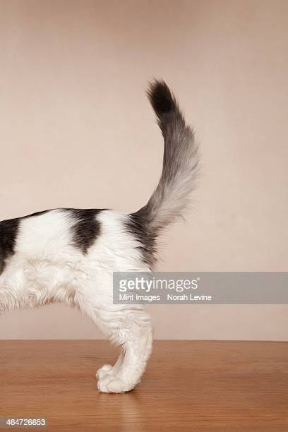 a young kitten with black patches on its white fur on its back,and a grey and black tail. - tail stock pictures, royalty-free photos & images