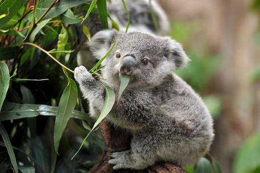young koala 519731334
