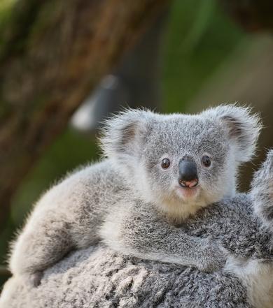 young koala 669723166