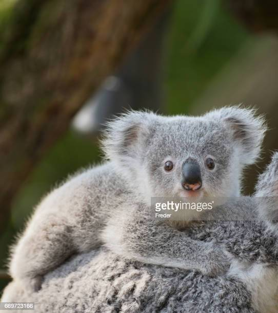 young koala - young animal stock pictures, royalty-free photos & images