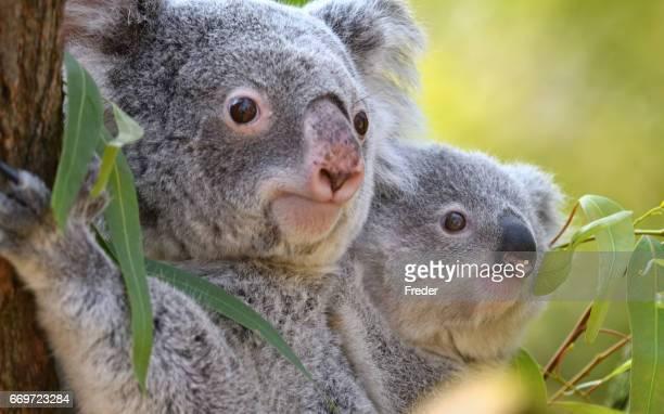 junge koala - koala stock-fotos und bilder