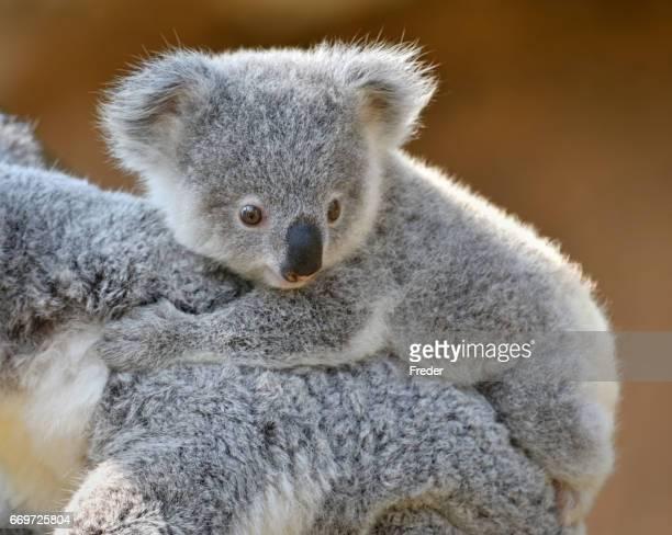young koala