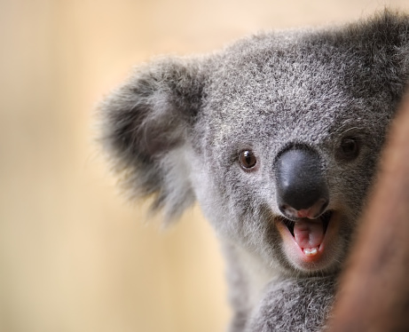 young koala 833768276