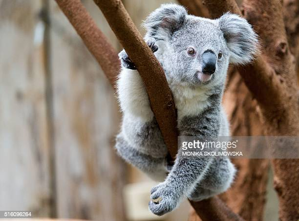 A young koala sits on a tree at the zoo in Duisburg western Germany on March 16 2016 / AFP / dpa / Monika Skolimowska / Germany OUT