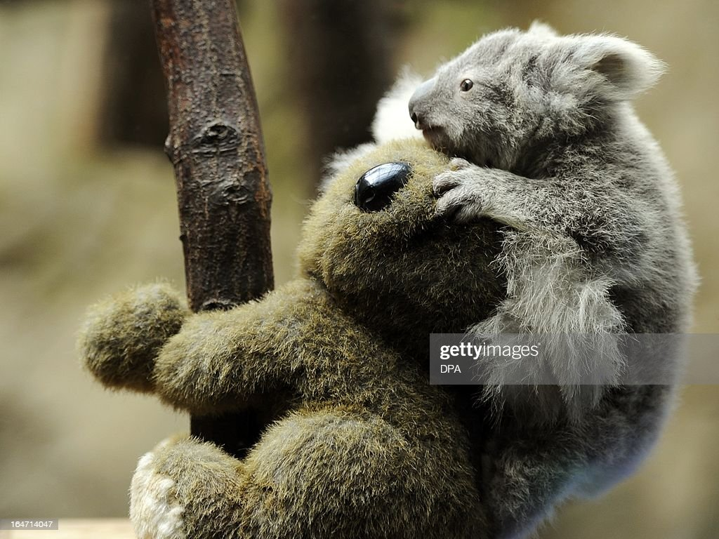 A young koala sits on the back of a toy koala while being weighed in the zoo in Duisburg, Germany, on March 27, 2013. The young animal is one of two baby koalas, that were born in the zoo six months ago.