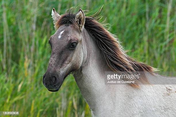 Young Konik (Equus przewalskii f. caballus), foal, portrait, wild horse, Tarpan re-breeding project