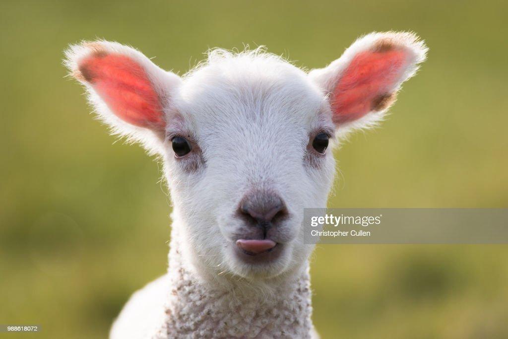 Young Lamb #2 : Stock Photo