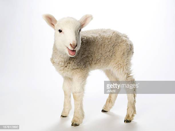 Young lamb smiling at the camera on a white background