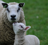 http://www.istockphoto.com/photo/young-lambs-and-their-mother-gm801114278-129921803