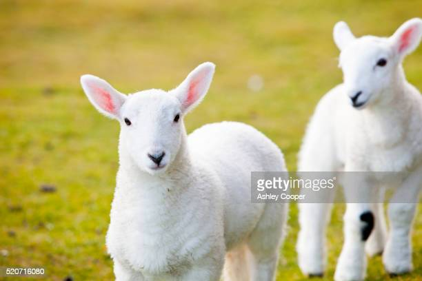 young lambs on the isle of skye, scotland, uk. - wool stock pictures, royalty-free photos & images