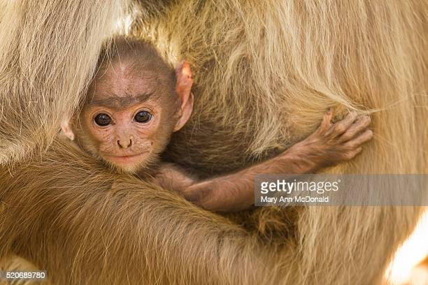 young languar monkey - bandhavgarh national park stock pictures, royalty-free photos & images