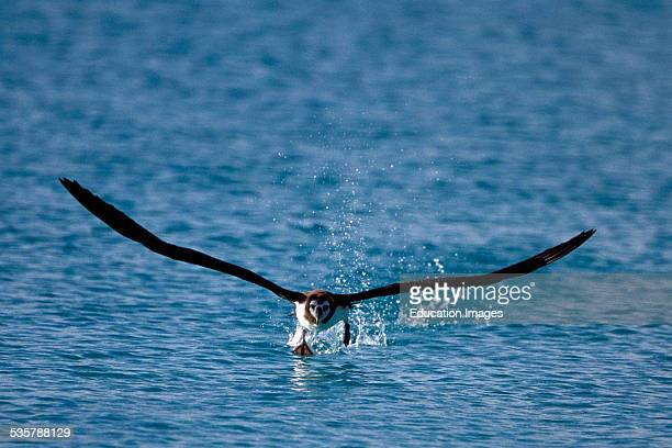 Young Laysan Albatross Diomedea immutabilis learning to Fly Hawaii Here is the worlds largest breeding colony of Laysan and the secondlargest of the...